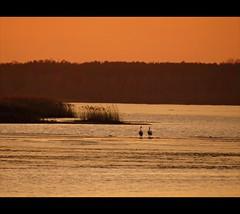 calmness... (JoannaRB2009) Tags: winter sunset orange lake nature water birds river poland polska natura swans zima woda przyroda ptaki jezioro rzeka pilica zachódsłońca tresta zalewsulejowski labędzie pomoarańczowy