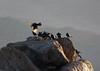 Tristram's starling at Mount Sinai P1160781