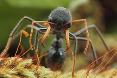 black bull-dog ant (FISHNROBO) Tags: light wild black colour macro green nature animal closeup newcastle fun bush flickr close natural native wildlife ant ngc australia insects cannon robo fishnrobo