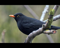 European blackbird (Wim K) Tags: portrait black holland bird nature netherlands dutch yellow photography photo focus branch dof bokeh stock beak nederland depth blackbird filed stockphoto merel stockphotography goudriaan wpk eyering wpk2