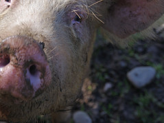 Snout in Wales (joanjbberry) Tags: pig mud pentax closeups farmanimals snout kx ruthin northwales justpentax