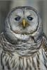 "Barred Owl (1201206-1264a) (Earl Reinink) Tags: travel ontario canada bird art nature birds photography landscapes nikon flickr canadian niagara raptor owl earl bif ""bird ""nikon ""niagara photography"" ""birds ""nature ontario"" ""landscape ""fine ""earl peninsula"" flight"" owl"" lenses"" ""travel d3"" ""barred d3s"" reinink"""