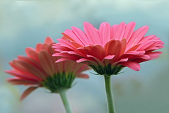 To Brighten a Wintery Day (njchow82) Tags: pink two plant flower nature closeup bokeh pair gerbera exquisiteflowers panasonicdmcfz35 nancychow