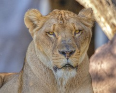 Cookie female lion (blackhawk32) Tags: zoo phoenix lion female lion lioness