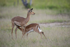 Impala nursing, by ROY TOFT National Geographic Stock (BeautifulBreastfeeding) Tags: africa grass breastfeeding impala nursing zambia wildanimals impalaaepycerosmelampus twoanimals animalparenting juvenileanimal animalsnursing animalsbreastfeeding