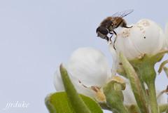 Mosca Posando (jjrduke) Tags: naturaleza flores insectos macro flora macrofotografia