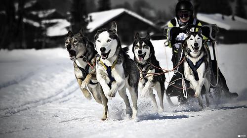 Mushing [Explore 2012-02-14, Frontpage] (Daniel Wildi Photography) winter snow dogs race switzerland nicole husky huskies musher mushing sleddog 2012 berneseoberland lenkimsimmental cantonofbern danielwildiphotography swissmushingchampionships
