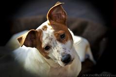 Belle (JRT ) Tags: wallpaper dog fur jack nose eyes nikon jrt russell ears terrier jackrussell belle jackrussellterrier brownhead d300s johnwarwood flickrjrt