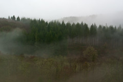 Misty Morning (rmackman1) Tags: mist fog dawn devon pinetrees berealston