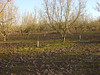 3021 replacement trees (growing hazelnuts) Tags: filbert orchards