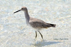 Willet in the Water (daisyj85) Tags: ocean bird water nikon florida pass stump fl shorebird willet d7000 28300vr