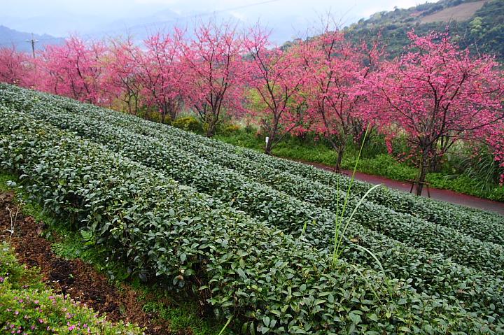 玉蘭茶園櫻花0011