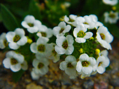 Tiny Flower Clusters (LostMyHeadache: Absolutely Free *) Tags: flowers autumn light shadow nature petals nikon unidentifiedplant clusters tiny stamen stems delicate alyssum davidsmith calgaryalbertacanada