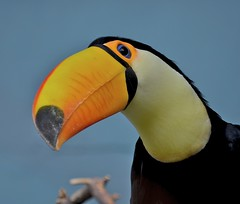 Toucan (Ramphastida) (Lisa Karloo) Tags: bird nature zoo toucan wildlife exotic ramphastidae onephotoweeklycontestweek13