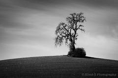 Tree Study (Silent G Photography) Tags: california ca blackandwhite bw tree monochrome clouds mono vineyard minimal paso centralcoast desolate winecountry pasorobles singleraw nikkor70200mmf28 nikond7000 markgvazdinskas silentgphotography