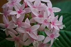 Pink pretties (Deb Jones1) Tags: pink flower nature beauty canon garden botanical outdoors flora australia blooms flickrawards debjones1