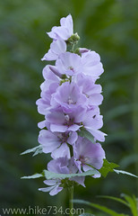 """Hollyhock • <a style=""""font-size:0.8em;"""" href=""""http://www.flickr.com/photos/63501323@N07/6921324883/"""" target=""""_blank"""">View on Flickr</a>"""