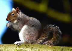 Breakfast squirrel (Stephen Whittaker) Tags: closeup grey nikon squirrel dof pov depthoffield naturalhabitat d5100 greyorred whitto27