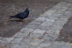 Friendly bird (NikitaY) Tags: bird switzerland luzern saturday fullframe altstadt lucerne 2012 walkaround canonef50f14 lovelytown canoneos5dmarkii
