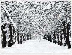 Avenue of the snowy Apple Trees (Habub3) Tags: park christmas travel schnee trees winter white holiday snow plant apple nature forest canon germany landscape deutschland search flora europe frost stuttgart walk urlaub natur meadow wiese powershot landschaft wald baum apfel vacanze 2012 reise spaziergang g12 weis serach remstal habub3 mygearandme vanishingpoint