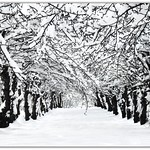 Avenue of the snowy Apple Trees