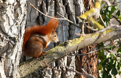 Madison (Nataraj Metz) Tags: canon germany deutschland europa europe stuttgart walnut madison deu eichhrnchen redsquirrel walnuss badenwrttemberg walnuttree sciurusvulgaris europeansquirrel juglansregia walnussbaum kaltental stuttgartsd roteseichhrnchen gallusstrase echtewalnuss eos550d eosrebelt2i tamron18270mmf3563diiivcpzd