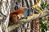 Madison (Nataraj Metz) Tags: canon germany deutschland europa europe stuttgart walnut madison deu eichhörnchen redsquirrel walnuss badenwürttemberg walnuttree sciurusvulgaris europeansquirrel juglansregia walnussbaum kaltental stuttgartsüd roteseichhörnchen gallusstrase echtewalnuss eos550d eosrebelt2i tamron18270mmf3563diiivcpzd
