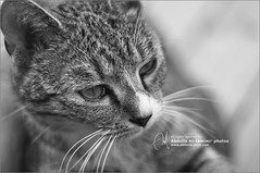 Mini Meowing Tiger =P (Abdulla Attamimi Photos [@AbdullaAmm]) Tags: cat photoshop photography photo nikon photos tiger photographic saturation meow 2008 pussycat 2012   amm    d90   meowing     tamimi toturial    altamimi attamimi     desamm     abdullahattamimi abdullaammnet abdullaammcom minimeowingtiger
