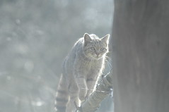 Backlit wild cat (Pim Stouten) Tags: cat feline predator wildcat captive felissilvestris wildekat roofdier anholterschweiz wildkatze raubtier europischewildkatze felissilvestrissilvestris europesewildekat europeanwildcat