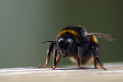 "2012_366070 - Bumble Bee • <a style=""font-size:0.8em;"" href=""http://www.flickr.com/photos/84668659@N00/6969318173/"" target=""_blank"">View on Flickr</a>"