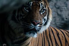 Tiger at Taranga zoo, Sydney (gks18) Tags:
