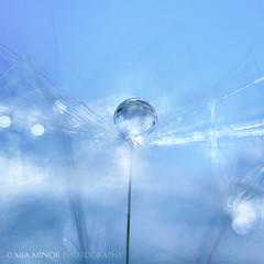 blue vision (Mia Minor) Tags: blue macro nature floral spring nikon waterdrop bokeh dandelionseed