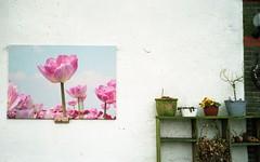 Spring in a picture (Jos Mecklenfeld) Tags: leica flowers film netherlands 35mm spring nederland tulip vista agfa lente overijssel z2x agfavista voorjaar agfavista200 blokzijl leicaz2x epsonv500