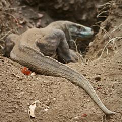 Dragon nest I (By Elize) Tags: indonesia mom island dragon hole nest reptile digging egg mother lizard mum eggs biggest largest komodo laying herpetology komododragon varanuskomodoensis eos400d