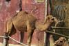 "Amersfoort Zoo camel <a style=""margin-left:10px; font-size:0.8em;"" href=""http://www.flickr.com/photos/78486882@N04/6996970054/"" target=""_blank"">@flickr</a>"