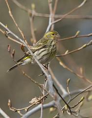 Chamariz - Serinus-Serinus (Luis Coelho Fotografia) Tags: nature birds natureza ngc aves serinusserinus chamariz canon7d birdperfect canon150500