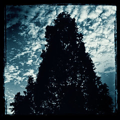 Dawn Redwoods (Michael Hobbs) Tags: trees square squareformat uncchapelhill dawnredwood iphoneography