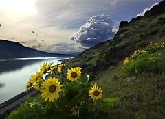 High Above the Highway (Darrell Wyatt) Tags: cloud reflection green yellow washington columbiariver sunflower root balsam balsamroot highway14