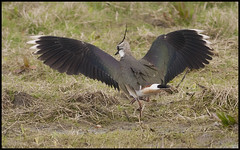 RSPB LAPWING (stephen staples) Tags: lapwing