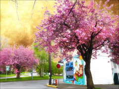 April in Victoria series (Nick Kenrick.) Tags: pink spring blossom april fernwood lums littletreasures thegalaxy 1606stanleyave