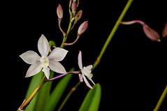 Caularthron Bilamellatum... (Jos Pestana) Tags: orchid orquidea orchidace caularthronbilamellatum