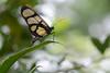 Clearwing (ggallice) Tags: peru butterfly amazon rainforest sp alas transparentes nymphalidae clearwing madrededios methona cicra ithomiini losamigosbiologicalstation ithomiine taxonomy:genus=methona
