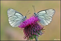 Aporia crataegi (alfvet) Tags: macro nikon ngc butterflies natura npc farfalle sigma150 parcodelticino veterinarifotografi d5100
