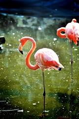 Flamenco (SuSa Saez Vergara) Tags: pink bird animal mxico flamingo jardin rosa flamenco pjaro
