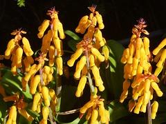 Lachenalia (Luigi Strano) Tags: flowers flores bulb fleurs flor blumen fiori bulbosa mindigtopponalwaysontop lovelyflickr