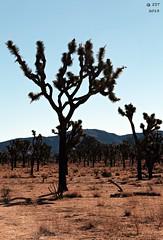 Joshua Trees (zeesstof) Tags: park nationalpark desert joshuatree granite geology joshuatreenationalpark zeesstof