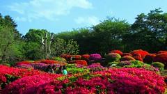 Japanese Eden (Patrizia Ilaria Sechi) Tags: flowers girls nature japan tokyo japanesegarden colorful paradise eden bushes flickrdiamond gardenoriental girlsandflowersspringtimeoriental