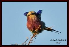 LILAC - BREASTED ROLLER (Coracias caudata).....MASAI MARA......SEPT 2015 (M Z Malik) Tags: africa nikon kenya wildlife ngc safari kws masaimara d3x exoticafricanbirds exoticafricanwildlife 200400mm14afs