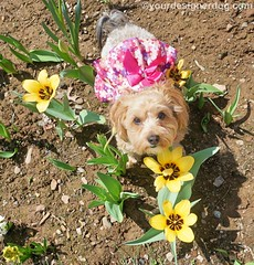 Flower (yourdesignerdog) Tags: flowers dogs photo spring all with tulips wordpress posts challenge ifttt