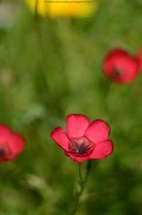 DSC_0736+ (SuzuKaze-photographie) Tags: flowers nature field fleurs lyon bokeh champs poppy swirly helios 442 coquelicots helios442 d7100 suzukazephotographie